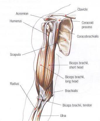arm tendons diagram bicep tendon injuries glenelg orthopaedics  bicep tendon injuries glenelg